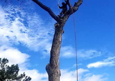 Tree Services: tree climbing & trimming